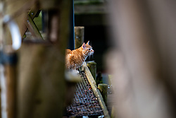 The cats Maki and Ivy are having fun in the garden on january 14, 2021 in Maarssen (Photo by RHF Agency/Ronald Hoogendoorn)