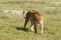 A female Lion, Panthera leo melanochaita, in Ngorongoro Crater, Ngorongoro Conservation Area, Tanzania