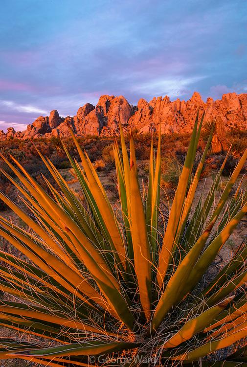 Yucca and Granite Mountains at Dawn, Mojave National Preserve, California