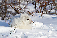 01863-01109 Arctic Fox (Alopex lagopus) in snow in winter, Churchill Wildlife Management Area, Churchill, MB Canada