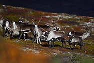 Wild Mountain Reindeer, Rangifer tarandus, Forollhogna National Park, Norway