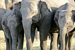 Asian Elephants, Minneriya National Park