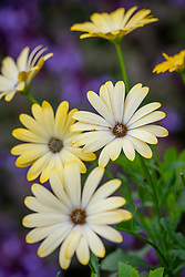Osteospermum Serenity Lemonade syn 'Balserlem' - Serenity Series