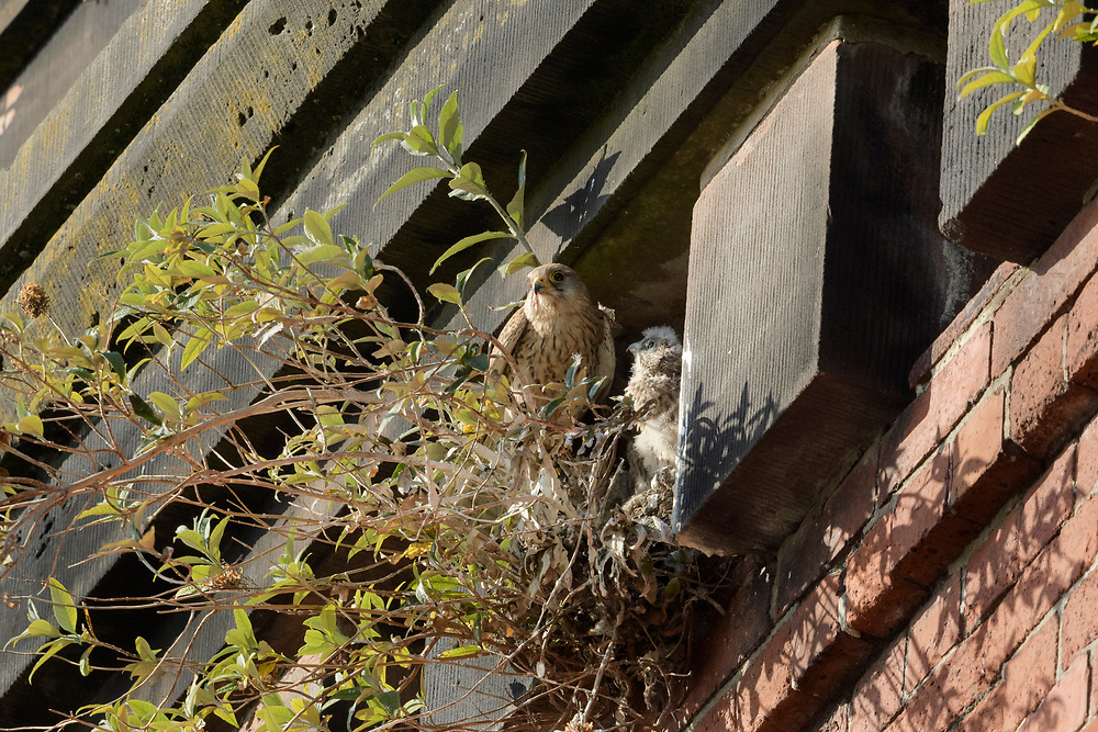 Common kestrel (Falco tinnunculus). Pair nesting a railway viaduct over the River Mersey, Stockport, Greater Manchester. Female with chick at the nest.