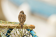Male house sparrow perched on a lobster pot in a Scottish harbour, set against a boat background.