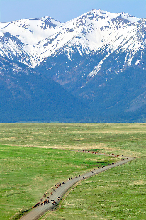 Cattle drive on Oregon's Zumwalt Prairie.  The Wallowa Mountains are in the background.