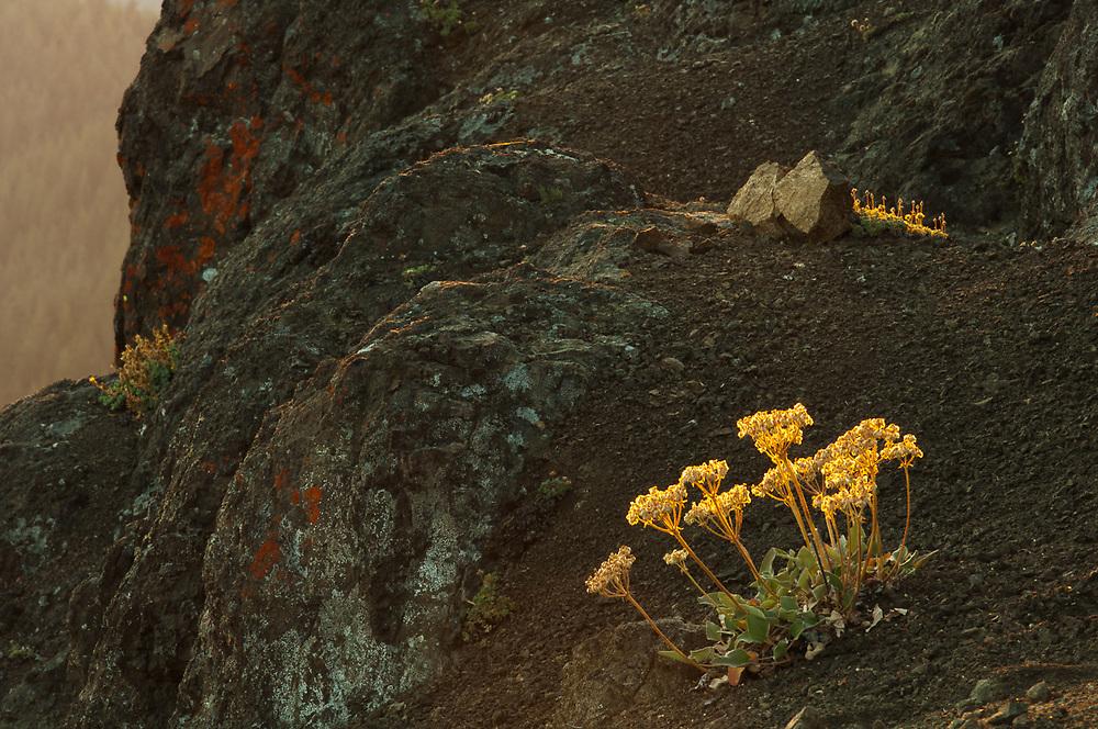 Eriogonum wildflowers ( Eriogonum umbellatum), evening light, August, Norse Peak Wilderness, Mount Baker-Snoqualmie National Forest, Washington, USA