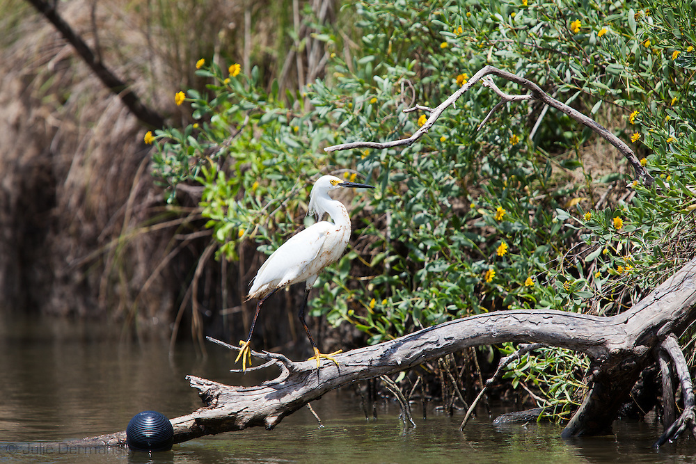 May 22, 2010,  Snowy egret with oil on its feathers near the beach at Port Fourchon, Louisiana.