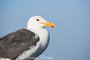 western gull, Larus occidentalis, adult, Piedras Blancas, near San Simeon, California, United States ( Eastern Pacific Ocean )