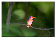 Sulawesi dwarf kingfisher from Tangkoko National Park, Sulawesi, Indonesia. Nikon D850, 300mm + TC14 @ 420mm, f4, 1/1000sec, ISO1250, SB900 fill-in flash, Aperture priority