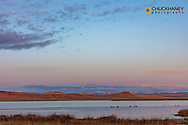 Birds in pond during spring migration at Freezeout Lake WMA near Choteau, Montana, USA