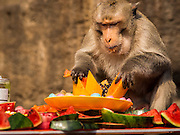 30 NOVEMBER 2014 - LOPBURI, LOPBURI, THAILAND: Monkeys eat the buffet of fruit and vegetables at the monkey buffet party in Lopburi. Lopburi is the capital of Lopburi province and is about 180 kilometers from Bangkok. Lopburi is home to thousands of Long Tailed Macaque monkeys. A regular sized adult is 38 to 55cm long and its tail is typically 40 to 65cm. Male macaques weigh around 5 to 9 kilos, females weigh approximately 3 to 6 kg. The Monkey Buffet was started in the 1980s by a local business man who owned a hotel and wanted to attract visitors to the provincial town. The annual event draws thousands of tourists to the town.    PHOTO BY JACK KURTZ