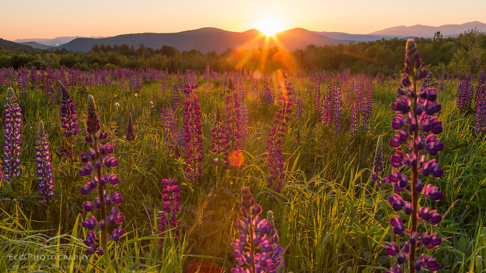 Lupine field and a view of the White Mountains at sunrise in Sugar Hill, New Hampshire. Sunset Hill.