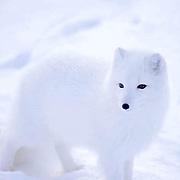 Arctic Fox (Alopex fulva) Churchill, Manitoba. Canada.