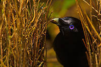 """Satin Bowerbird (Ptilonorhynchus violaceus minor) male """"painting"""" the inner walls of his bower with masticated plant matter.  Note the substance on his bill.  This bower is decorated with all natural objects...Rain forest of the Atherton Tablelands..Queensland, Australia"""