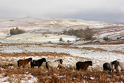 © Licensed to London News Pictures. 26/02/2020. Builth Wells, Powys, Wales, UK. Welsh mountain ponies forage for grass under the snow on the bleak moorland of the Mynydd Epynt range near Builth Wells in Powys, Wales, UK. after snow fell in Powys last light. Photo credit: Graham M. Lawrence/LNP