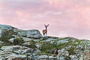This stag was taunting me with his antlers for a while. I was shooting the sunset at the Ardnamurchan Lighthouse and while the sun was setting we noticed the antlers lurking just at the crest of the hill. Finally while I was walking around and about to leave he came out from behind the ridge.