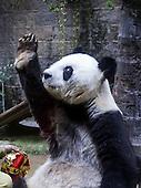 Giant Panda Basi Celebrates 35th Birthday
