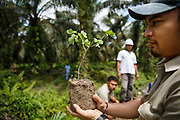 A group of smallholder palm oil farmers plant shrubs part of an integrated pest managment policy that helps them reduce pesticide use on their plantations in Ukui, Riau Province, Indonesia, on 15 June 2015. Certain flowers attract insects that prey on pests that damage the crops. This area has become dominated by palm oil production, and some smallholder farmers have formed co-operatives to share costs, increase access to markets, and become certified by the Roundtable on Sustainable Palm Oil. He is part of Amanah, a local cooperative that has helped over 400 farmers become RSPO certified - reducing their use of pesticides and fertilizers, increasing yields, and improving farm management.