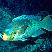 Rainbow Parrotfish swim about shallow reefs and rocky shorelines scrapping filamentous algae from hard substrates in Tropical West Atlantic; picture taken Grand Cayman.