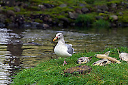 A gull forages amoung the dead salmon at the Weaver Creek Spawning Channel near Harrison Mills, British Columbia, Canada.