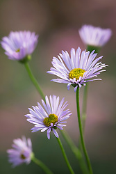 Erigeron karvinskianus Mauve form. Mexican daisy, Mexican fleabane.