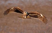 Black Kite (Milvus migrans) Israel, November
