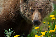 Young female Grizzly bear, Ursus arctos horribilis, Banff National Park, Alberta, Canada, North America
