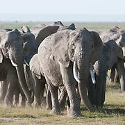 African elephant (Loxodanta africana) herd. Amboseli National Park, Kenya, Africa