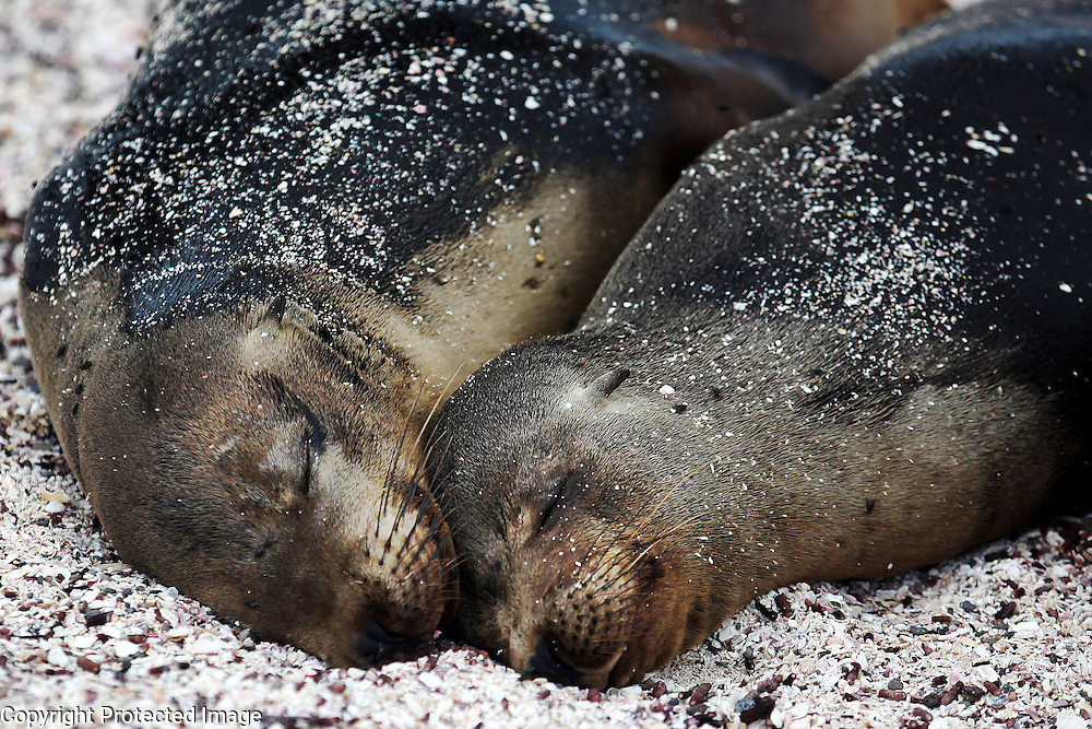 A Galapagos sea lion mother snuggles with her pup on Espanola Island in the Galapagos.
