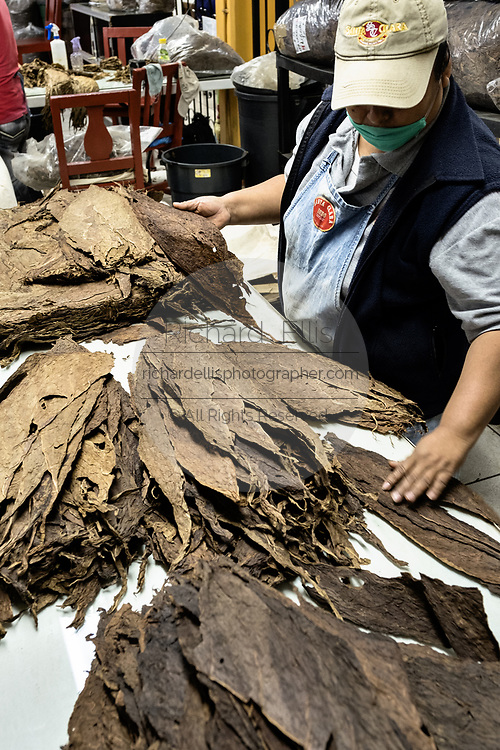Mexican workers sort and grade long leaf cured tobacco for use in fine cigars at the Santa Clara cigar factory in San Andres Tuxtlas, Veracruz, Mexico. The factory follows traditional hand rolling using the same process since 1967 and is considered by aficionados as some of the finest cigars in the world.