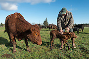 """I had """"breakfast"""" today with a very nice cow and her brand new, hours-old, wobbly-legged calf seen here, born this morning. Here, Jerry of Freedom Farms checks his new calf while mama watches."""