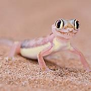 Palmetto Gecko, (Pachydactylus rangei) Namib Desert, Namibia.