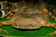 Suriname Toad (Pipa pipa) - Amazonia, Peru