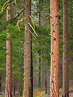Ponerdosa Pines (Pinus ponderosa), Wenatchee National Forest Washington USA