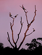 White Throated Toucans (Ramphastos tucanus) rest in a roosting tree in the morning light.  Amazon, Peru, August.