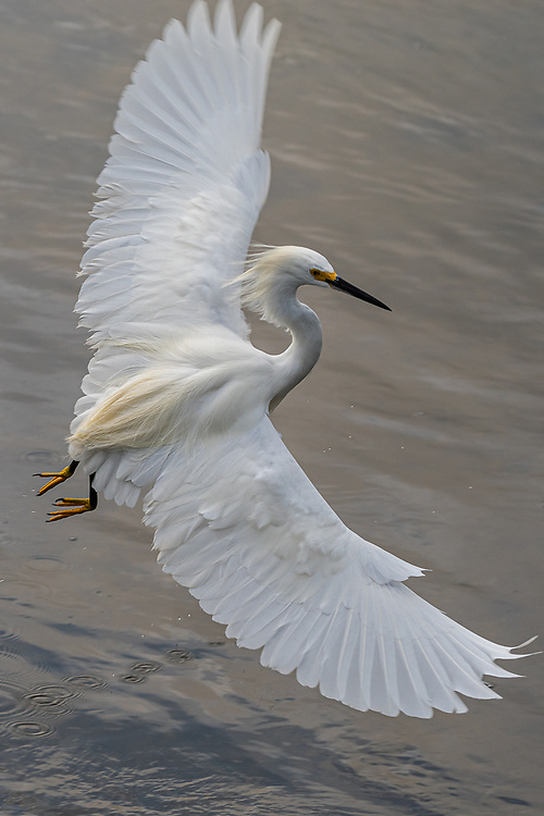 A snowy egret in mid flight over water show a full wing span.