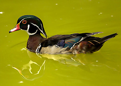 A Vibrant Wood Duck Swims On A Flash Of Green Water