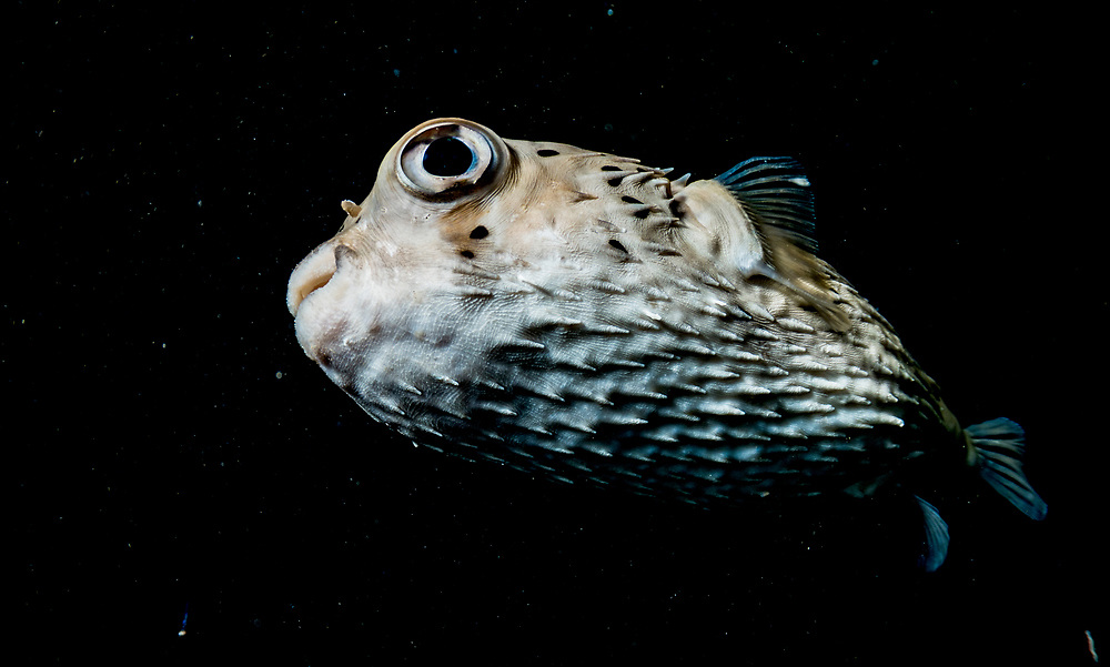 Spotted porcupinefish (Diodon hystrix) at night in The Bahamas.