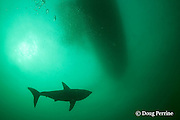 salmon shark, Lamna ditropis, swims under boat, Port Fidalgo, Prince William Sound, Alaska, U.S.A.; this apex predator, sometimes called the Pacific porbeagle, is a mackerel shark in the order Lamniformes; it swims in cold water, but is warm-blooded ( homeothermic )