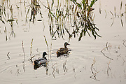 Ducks in flooded meadow after river burst its banks, Oxfordshire, The Cotswolds, United Kingdom