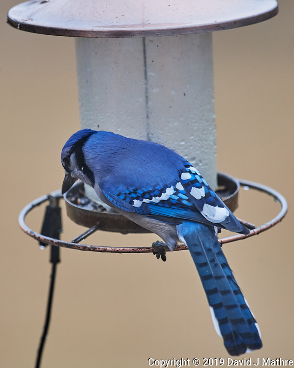 Blue Jay at the Empty Bird Feeder on a Rainy Day. Image taken with a Nikon D5 camera and 600 mm f/4 VR lens