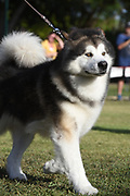 The Alaskan Malamute is a large breed of dog that was originally bred for their strength and endurance to haul heavy freight as a sled dog and hound.