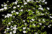 Dogwood Tree in Bloom, Columbia River Gorge.Oregon.