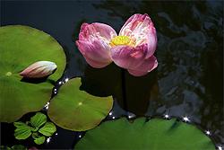 Land of the Lotus