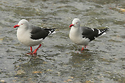 Dolphin gull, Larus scoresbii, pair wading in stream by shore, Ushuaia, Argentina, South America