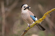 Eurasian Jay (Garrulus glandarius) perched on a branch. This bird is found throughout western Europe, northwest Africa and southeast and eastern Asia. It hoards acorns over the winter months and prefers woodland dominated by oak. It will also feed on insects, fruits, young birds, mice, small reptiles and small snakes. The jay is a mimic, sounding like another species of bird in its call. Photographed in Israel in January