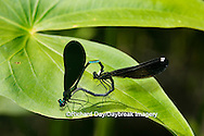 06014-002.14 Ebony Jewelwing (Calopteryx maculata) male & female in copulation wheel, Lawrence Co. IL