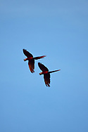 A pair of Scarlet Macaws (Ara macao) fly against a blue sky in Golfo Dulce, Costa Rica.