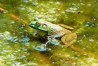 Bullfrog in a Pond at the Sourland Mountain Preserve. Summer Nature in New Jersey. Image taken with a Nikon 1 V1 + FT1 + 70-300 mm VR lens (ISO 200, 200 mm, f/5.6, 1/320 sec) and monopod. [FOV Equivalent to ~ 540 mm on a 35 mm image sensor]